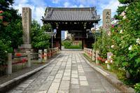 妙蓮寺の芙蓉と彼岸花 - ぴんぼけふぉとぶろぐ2