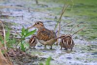 タマシギの親子 - 『彩の国ピンボケ野鳥写真館』