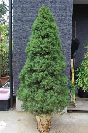 コニカ カナダトウヒ #コニカ albertiana 'Conica' 販売 画像 写真 価格 値段 庭木 植木 お問い合わせ商品 - 田中園 -SHOP-|tanakaen.jp Web Magazine