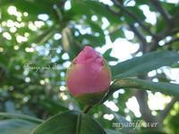 桃のようなつぼみと杜鵑(ほととぎす) - 風と花を紡いで