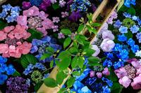 紫陽花の彩り(真如堂) - 花景色-K.W.C. PhotoBlog