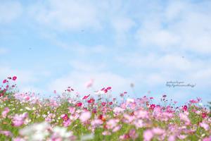 花の丘のコスモス -