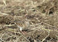 昨日のコスモス公園のヒバリと相模原のノビタキです、今日はカニ公園とM川を回ってみました、ジョビ子が入ってきてました。 - 鳥撮り日誌