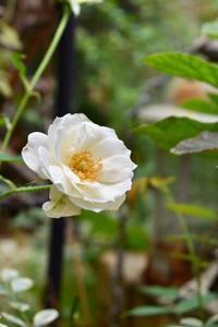 薔薇 アイスバーグが綺麗です。 - 小さな庭 2