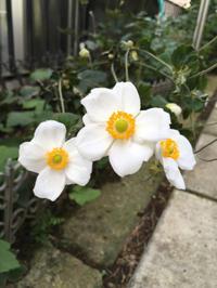 お庭のお花〜秋明菊 - 素敵なモノみつけた~☆