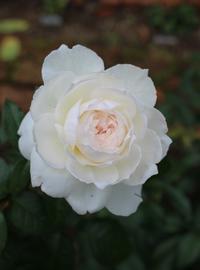 青いゲラニウム&白いバラ - ペコリの庭 *