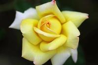 花菜ガーデン薔薇3 - 生きる。撮る。