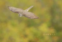 ハイタカ - 北の野鳥たち