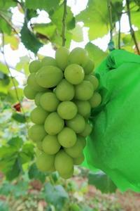 シャインマスカット収穫終了 - ~葡萄と田舎時間~ 西田葡萄園のブログ