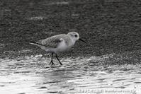浜辺に集うシギたち - 気ままに野鳥観察