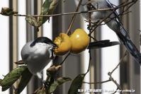 秋の味覚を貪るオナガたち - 気ままに野鳥観察