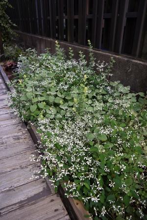 裏庭のダイアモンドフロストは今が盛り -
