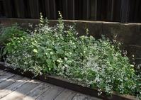 裏庭のダイアモンドフロストは今が盛り - ヒバリのつぶやき