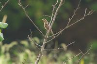 今季初撮りのアリスイ - 近隣の野鳥を探して
