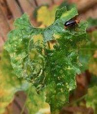 甲虫 『烏瓜の葉を食べる』 瓜葉虫  Aulacophora femoralis - 自然感察 *nature feeling*