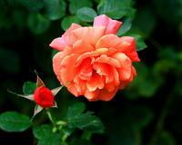 今回は赤いバラ~ 東武トレジャーガーデンで ~ - 星の小父さまフォトつづり