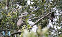 SIRIARUツツドリかと思いましたが、Sプロからホトだぞと言われて嬉しくなったよ、撮れない野鳥です。誠 - 皇 昇