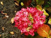 秋の紫陽花 - 見知らぬ世界に想いを馳せ