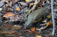 この鳥な~に…多分、マミチャジナイとシロハラ - 上州自然散策2