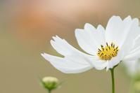 今日の大船フラワーセンター秋の花たち - エーデルワイスPhoto