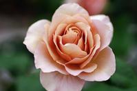 花菜ガーデン薔薇4 - 生きる。撮る。