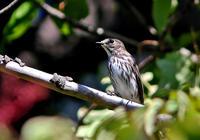 ・エゾビタキ - 鳥見撮り