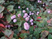 ポリゴナム - だんご虫の花