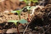 もうすぐ霜降:大豆の収穫はじめました。 - 週刊「目指せ自然農で自給自足」