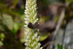 クロツバメシジミ10月20日 - 超蝶