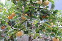 柿が豊作~! - ルームシューズを作るゥ。。ステンドグラスも作る。
