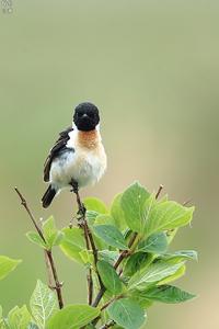 北海道長期遠征の思い出からノビタキ - 野鳥公園