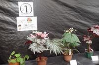 秋の「ベゴニア展」の始まり - 手柄山温室植物園ブログ 『山の上から花だより』