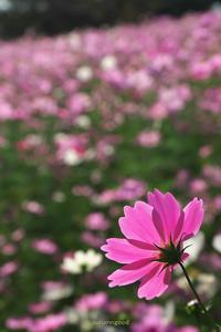久しぶりにコスモス撮りました - autumngood digital photo blog