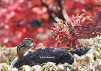 紅葉の中にシマリスがきた!! - ukiwa-mの気ままなブログ