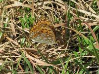 まだ、ウラギンヒョウモンが居た - 秩父の蝶