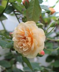 秋の方が美しく咲くバラ - ペコリの庭 *