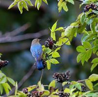 オオルリ若も居た・・・ - 一期一会の野鳥たち