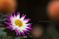ダリア*神代植物公園 - MIRU'S PHOTO