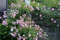 5月のバレリーナ、ジュランビル、ニュー・ドーン - Doriのお気に入り