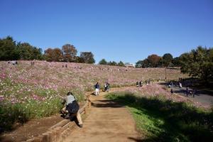 昭和記念公園で秋桜♪_前編 - オーブラカ Облако