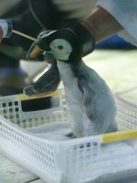 エンペラーペンギンの雛! - 風に流され、気まま気まぐれ