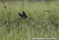 稲田の上を乱舞するツバメたち - 気ままに野鳥観察