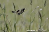 低地で初見のホオアカ - 気ままに野鳥観察