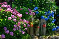あじさい寺(矢田寺) - 花景色-K.W.C. PhotoBlog