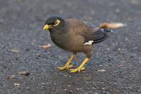 旅先で初撮りインドハッカ - 近隣の野鳥を探して
