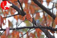 桜の紅葉とシマエナガちゃん - イチガンの花道