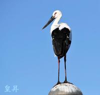 今日も昨日より、このフィールドで餌捕りしているが、餌無し左右に飛翔したりして、カメマンは振り回されている。誠 - 皇 昇