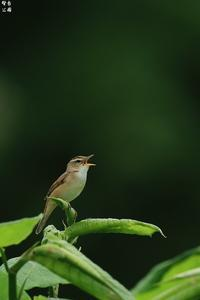 北海道遠征の思い出からコヨシキリ - 野鳥公園