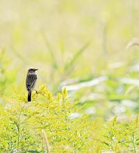 ノビタキ祭り - ゆるゆる野鳥観察日記