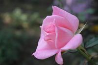 日曜日の薔薇 - 四月の魚